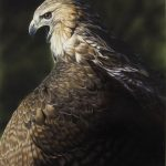 Red Tailed Hawk Mantling original acrylic painting by Canadian artist Darren Haley